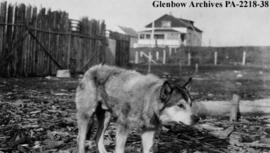 Crossbred dog, Fort Resolution, Northwest Territories.