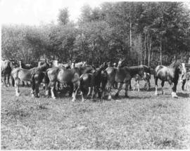 A herd of Clydesdale horses