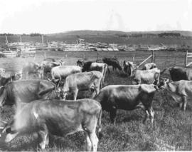 A herd of Jersey cattle