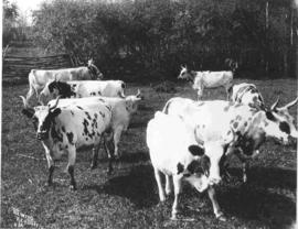 A herd of Ayrshire cattle