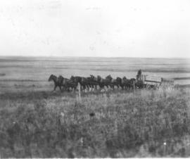 2 wagons pulled by a team of fifteen horses with driver, probably near Okotoks, or Davisburg, AB.