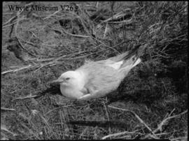 Gull on nest, Johnson Lake