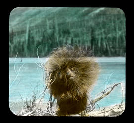Porcupine on Columbia Branch Athab. [Athabasca]