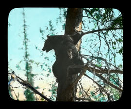 [Bear in tree]