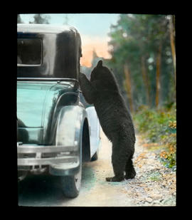 [Bear begging from car]